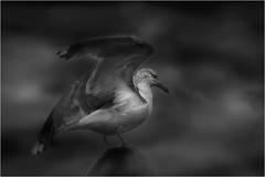 Seagull_001 (cees van gastel) Tags: seagulls birds vogels natuur vliegen zeemeeuwen ceesvangastel canoneos40d