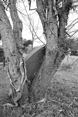 Twisted tree and headstone (IanAWood) Tags: pinner londoncemeteries londonboroughofharrow walkingwithmynikon nikkorafs24mmf14g pinnercemetery nikondf