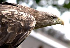 Eagle predator (Wilamoyo) Tags: eagle bird predator hawk attack alert ready fly wings feather animal eye bokeh beak bill creature nature flight profile portrait prey
