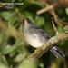 Slaty-backed Nightingale-Thrush, Catharus fuscater