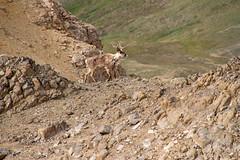 Here Comes Another Caribou (jpmckenna - Tenquille Lake Up Next) Tags: alaska denali denalinationalpark landscape unit11 backpacking getoutside mountain caribou unit12