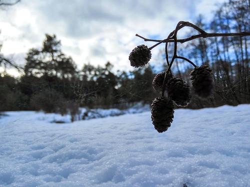 Álnus on snow on rivercoast