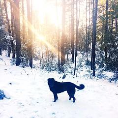 Addie in the Snow-Prescott, AZ-Dec 2016 (Service.dog.addie) Tags: prescottaz arizona prescott nature trees forest winterlandscape landscape winter cold snow bordercolliemix bordercollie mixedbreed mutt labmix lab blacklab labradorretriever retriever labrador blackdog servicedog dog