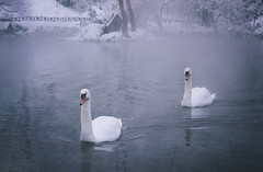 Every lake belongs to the quietness desired by the swans. (Arman Dz.) Tags: swan swans lake water waterfront river cold snow winter cool ice swimm swimming beautiful beauty melancholy melancolia bird birds love lonely loneliness lovely forest tree trees snowing fog fogy landscape landscapes nature natural animal animals