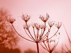 DSC09600 (stphaniefoucher) Tags: pinklife flower pink wildflower fleur rose nature