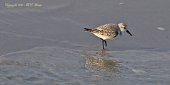 """Black-Bellied Plover (2 of 2) Sunrise """"Magic Hour"""" During Cold Winter Visit to Barnegat Lighthouse State Park of New Jersey (Long Beach Island) (takegoro) Tags: """"barnegat lighthouse state park"""" barnegat """"new jersey"""" nature ocean sea """"jersey shore"""" """"long beach island"""" lbi water winter magichour goldenhourbird wildlife """"blackbellied"""" plover shorebird reflection"""