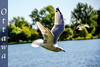 Dowslake (fadelemad324) Tags: ottawa photography nikon nik nikond7000 d7000 dark water nature bird seagull