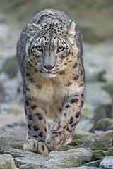 Villy walking towards me (Tambako the Jaguar) Tags: concentrated determined walking portrait face approaching rocks stones snowleopard male uncia fluffy big wild cat zürich zoo switzerland nikon d5