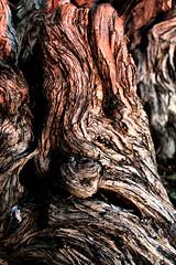 Knarly (Jen_Vee) Tags: trees shrubs wood honeysuckle old aged weathered explore