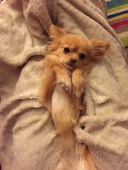 Pomchi (Heidi's Journey/ PassionMama) Tags: fluffy heidisjourney pomeranian chihuahua pomchi