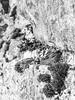 European adder sunbathing on ruins (Czzz) Tags: koikkala snake adder europeanadder moss rock finland juva animal vipera berus wildlife