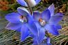 Madonna SUN ORCHID (Lani Elliott) Tags: tasmania tasmanianflora orchid orchids sunorchids thelymitra thelymitrasilena madonnasunorchid