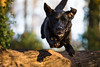 Boing! (Marcus Legg) Tags: marcuslegg max black labrador retriever dog pet running jumping log trees woods woodland flying outdoors canon eos 1dx ef70200mmf28lisii bokeh fur
