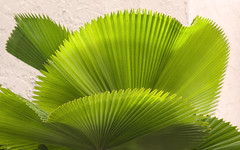 Palm leaves (Tim Ravenscroft) Tags: palm tree leaves selbygardens sarasota florida usa
