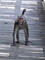 Ocala, FL, Silver Springs State Park, Backlit Wild Rhesus Macaque Monkey on Boardwalk (Mary Warren (8.7+ Million Views)) Tags: ocalafl silverspringsstatepark boardwalk wood nature fauna animal mammal monkey rhesusmacaquemonkey