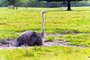 Too tired for walk (Austrinus) Tags: avestruz ostrich tired cansado
