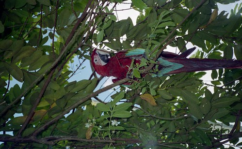 A parrot in the trees