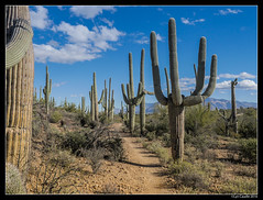 "Saguaros • <a style=""font-size:0.8em;"" href=""http://www.flickr.com/photos/19658346@N02/32055999155/"" target=""_blank"">View on Flickr</a>"