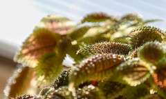 my kitchen plant (Dotsy McCurly) Tags: kitchen plant pilea moon valley pretty bokeh nature beautiful macro canoneos5dmarkiii nj