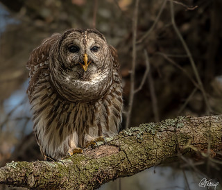 Barred Owl Calling.