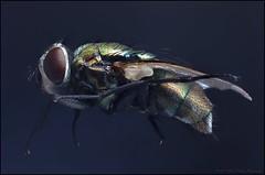 135rev50t2 ps1b (GTV6FLETCH) Tags: focusstack fly flyeyes macro manualfocus reversed reversedlens 135mm 50mm macrotubes canon canoneos5dmark2 minolta
