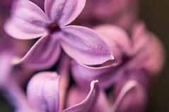 _DSC1438 (KateSi) Tags: plants plant flowers fleurs flores flower flor fleur blomst blomster macro flora purple violet morado lilla lilac lilacs petal petals upclose nikon nikond90 depthoffield
