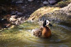 Week 01: Shake It Off (adamsarasin) Tags: duck wildlife animal bird water sony a6000 52weekproject river