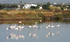 Olhão 2016 - Flamingos na Ria Formosa 03 (Markus Lüske) Tags: portugal algarve ria riaformosa formosa olhao olhão flamingo flamenco lueske lüske luske