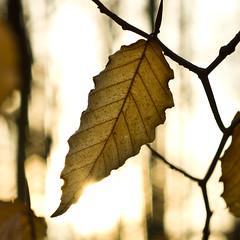Beech Leaf (ramseybuckeye) Tags: allen county ohio woodlands metropark beech leaves leaf tree super multi coated takumar 55 18 hermon