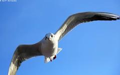 Seagull - Piran January 2017 07 (reineckefoto) Tags: seagulls piran sea blue sky bird