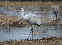 """Sandhill Crane by Scott Evans (Scott """"Burns"""" Evans) Tags: sandhill crane scott evans ewing bottoms jackson county indiana winter 2017 february avian bird photography nature"""