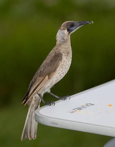 Little Friarbird (Philemon citreogularis).01