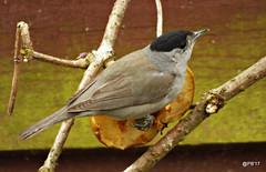 Blackcap (postman.pete) Tags: wickedweasel 2048 birds blackcap blue cat garden greattit longtailedtit lumix robin starling thomas tit winter