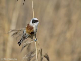 El pájaro moscón europeo-Teixidor- (Remiz pendulinus)