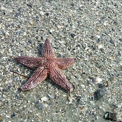 (alliesgator) Tags: sc exploresc photography alliesgatorphotography naturephotography nature ocean sand ccuoac ccu camping island huntingisland marinelifephotography marinelife starfish