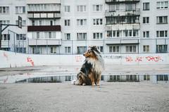 Dog, Spring (Alice Veresova) Tags: spring miniaussie mydog random randy animals
