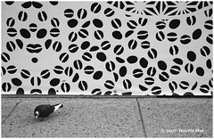 Pigeon In Graphical World - Main Street XP6156e (Harris Hui (in search of light)) Tags: harrishui fujixpro2 digitalmirrorlesscamera fuji fujifilm vancouver richmond bc canada vancouverdslrshooter mirrorless fujixambassador xt1 fujixcamera fujixseries fujix fuji35mmf2 fujiprimelens fixedlens standardlens acrosfilmsimulation acros bw blackwhite digitalbw mono monochrome coffeeshop coffeebeans beans