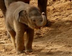 Baby Elephant (BrigitteE1) Tags: babyelephant babyelefant erlebniszoohannover deutschland germany zoo elefant elephant asiatischerelefant asianelephant baby elephasmaximus specanimal