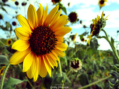 I never get tired of sunflower pics ☺  #sunflower #flower #instaflower #instanature  #nature #natureporn  #naturephotography #earth #earthpix #earthporn  #beautiful #pretty #yellow #photography #igworldclub #dazzling_shots  #amazing_captures #awesome_eart (codyhenson754) Tags: flower nature beautiful yellow photography pretty earth sunflower summertime mothernature naturephotography dreamimage beautyofnature natureporn dazzlingshots amazingcaptures instaflower earthporn instagood instanature flowerstagram summer2015 igworldclub globalhotshotz earthpix awesomeearthpix