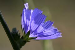 Chic, du bleu ! (Emmanuelle2Aime2Ailes) Tags: macro fleur bleu chicorée
