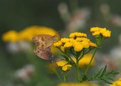 In balance (nikjanssen) Tags: pair butterflies balance vlinders boerenwormkruid