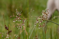 Water droplets on Sedge seeds. (Clint__Budd) Tags: