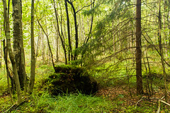 Лес ранней осенью (klgfinn) Tags: autumn birch forest grass landscape spruce tree wood береза дерево ель лес осень пейзаж трава