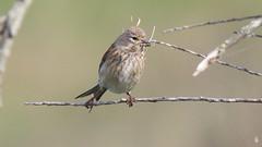 Linotte mlodieuse, Af (R, 2014-05-04_26) (th_franc) Tags: oiseau linottemlodieuse