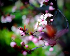 Spring blooms in Sydney (eggwah123) Tags: flower colour macro closeup 35mm garden spring bokeh outdoor jena flektogon fe manualfocus a7 f24 vintagelens oldlens flektogon35mm carzeissjena sonya7 emount