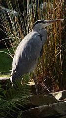 Heron (KevinCallens) Tags: heron bird animal reiger watervogel nakedtruth flickr kevin callens xxx art random artist alwaysunderconstruction kevincallens