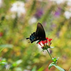 Butterfly (theeqwlzr) Tags: macro butterfly garden wildflowers rosegarden tylertexas canonrebelxti