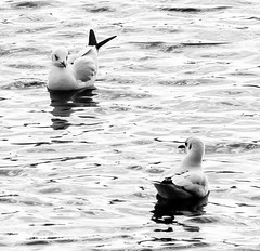Festival City 055 (zafarsami65) Tags: seagulls festivalcity