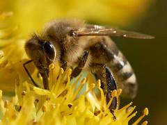Bee close (most.4711) Tags: 510fav topv333 bokeh cropped 333v3f sonya99 tamron90mmf28macrousd tamronsp90mmdimacrousd