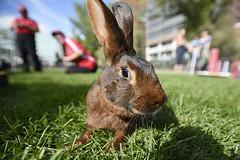2015 Beakerhead Bunny Tales CR (Beakerhead) Tags: calgary alberta rabbits intrude bunnytales canadianrabbithoppingclub beakerhead centralmemoriallibrary beakerhead2015